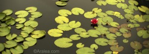 Photo of red water lily in a black pond