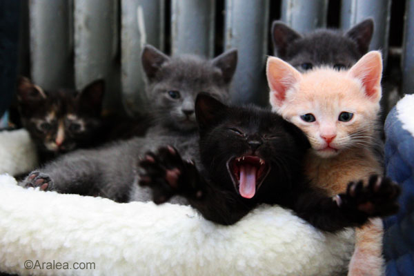 Photo of yawning kitten for  Awesome Animals